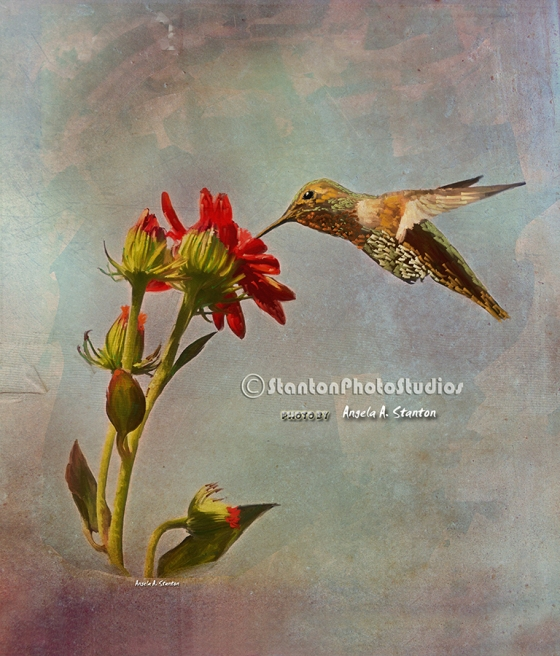 Painting of a hummingbird feeding